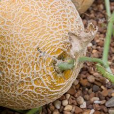 planting instructions for cantaloupe seeds